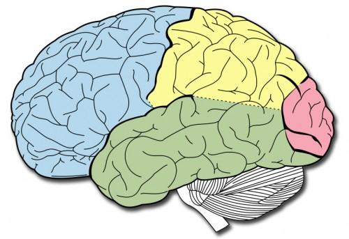 Los lbulos del cerebro y sus funciones  Neuromarca