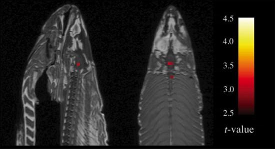 resonancia magnética salmon muerto (fmri)