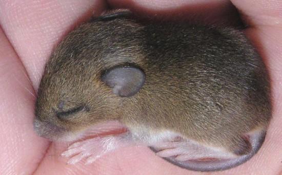 Dopamina - Experimentos con ratones