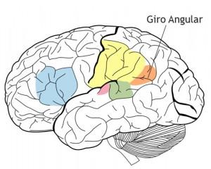 giro angular - cambios anatómicos en el cerebro